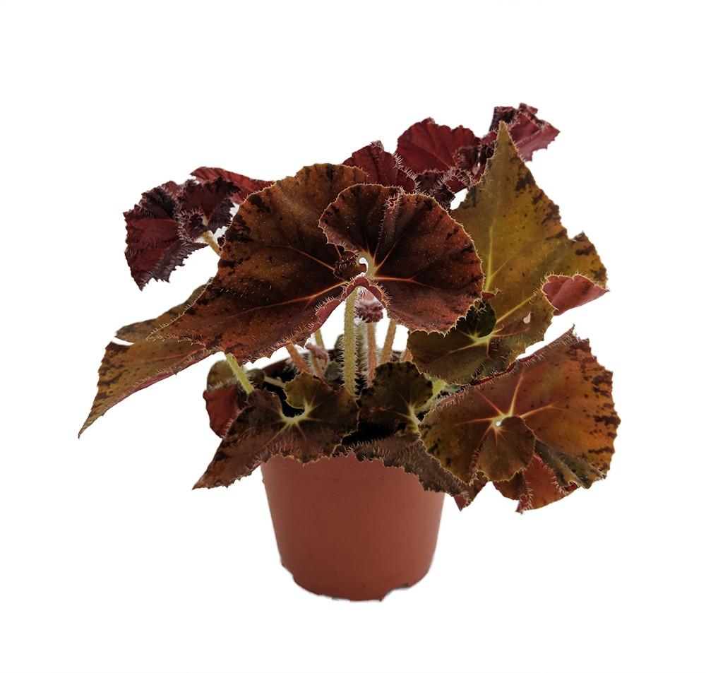 """Autumn's Best Begonia Plant - 3.7"""" Pot -Terrarium/Fairy Garden/HousePlant"""