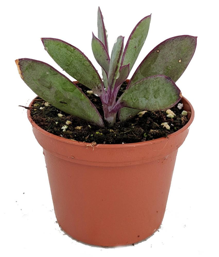 """Vertical Leaf Succulent Plant - Senecio crassissimus -Easy House Plant- 2.5"""" Pot"""