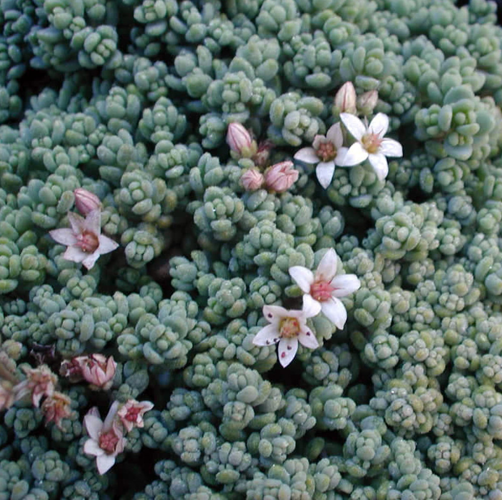 "Corsican Blue Tears Sedum - Sedum dasyphyllum  - Indoors or Out - 2.5"" Pot"