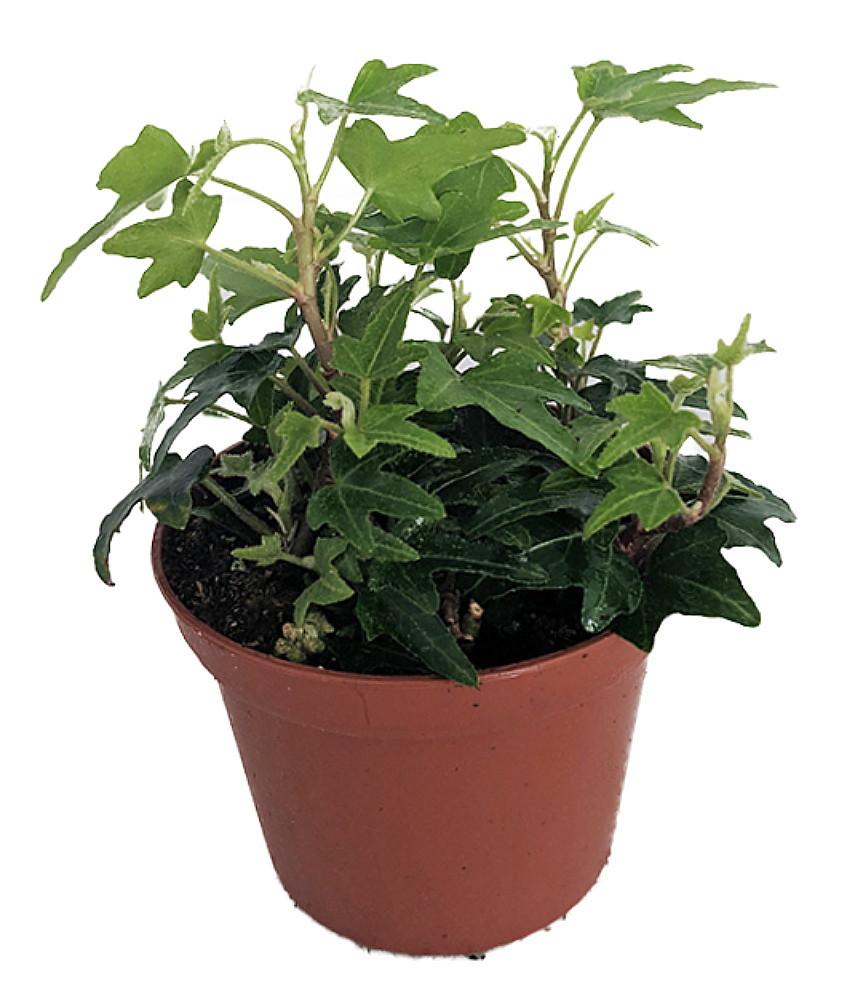 "Itsy Bitsy English Ivy - 2.5"" Pot - Terrarium/Fairy Garden/House Plant"