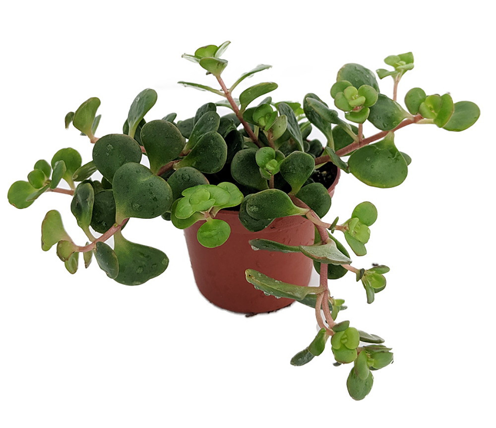 "Emerald Green Sedum - Sedum spurium Makinoi - 2.5"" Pot -Fairy Garden/House Plant"