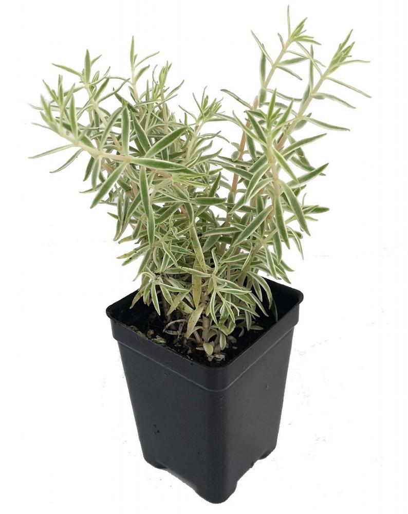 "Creme n' Green Needle Sedum lineare var. - 2.5"" Pot - Fairy Garden/House Plant"
