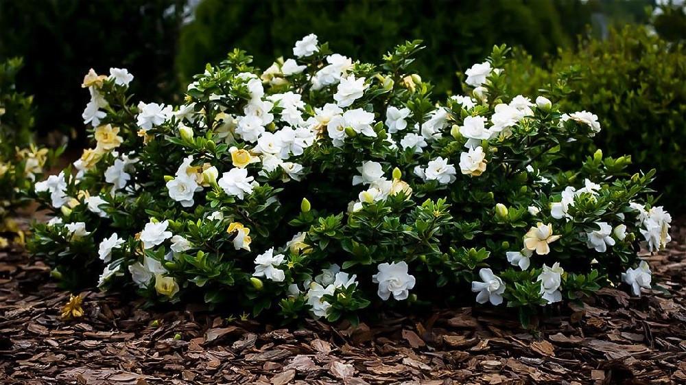 "Dwarf Gardenia Plant - Gardenia radicans - FRAGRANT - 2.5"" Pot"