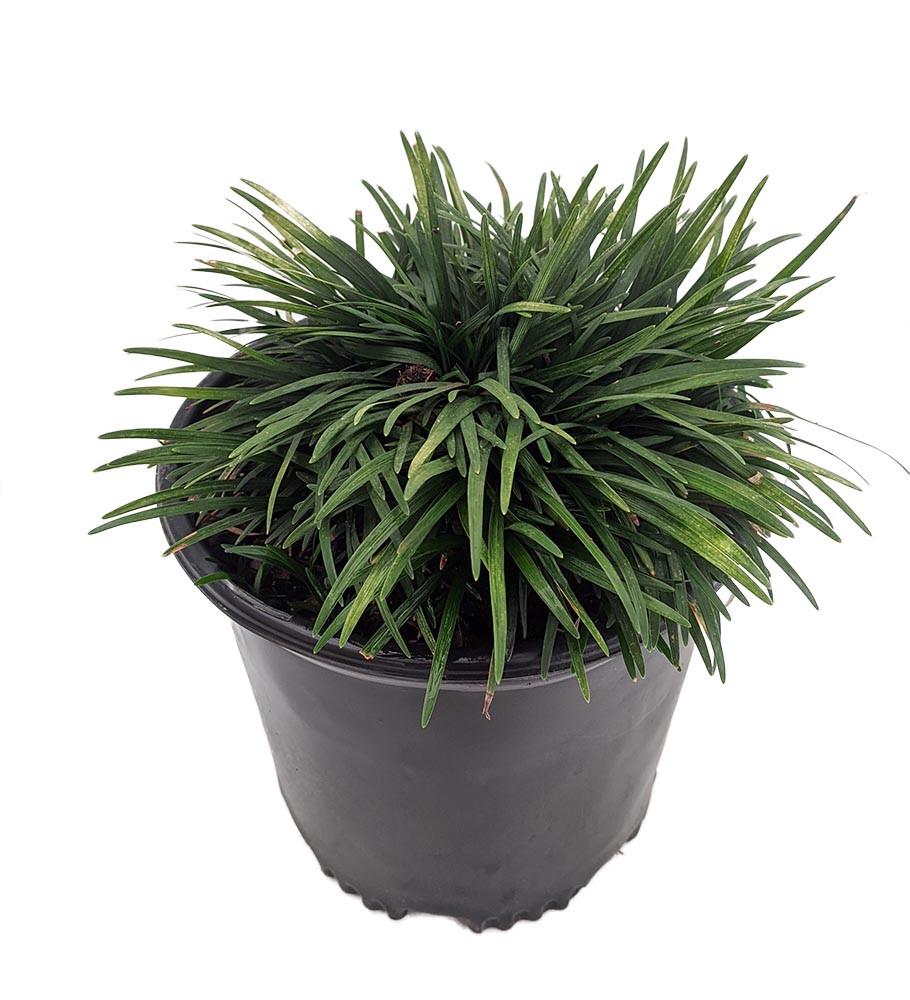 Green Dwarf Mondo Grass  - Ophiopogon - Gallon Pot - Carefree Groundcover