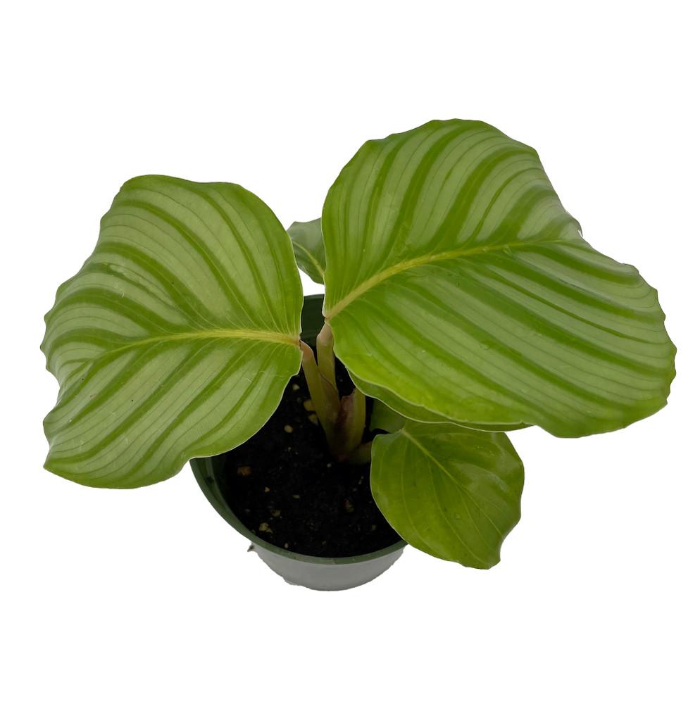 "Orbit Peacock Plant - Calathea orbifolia - Easy House Plant - 4"" Pot"