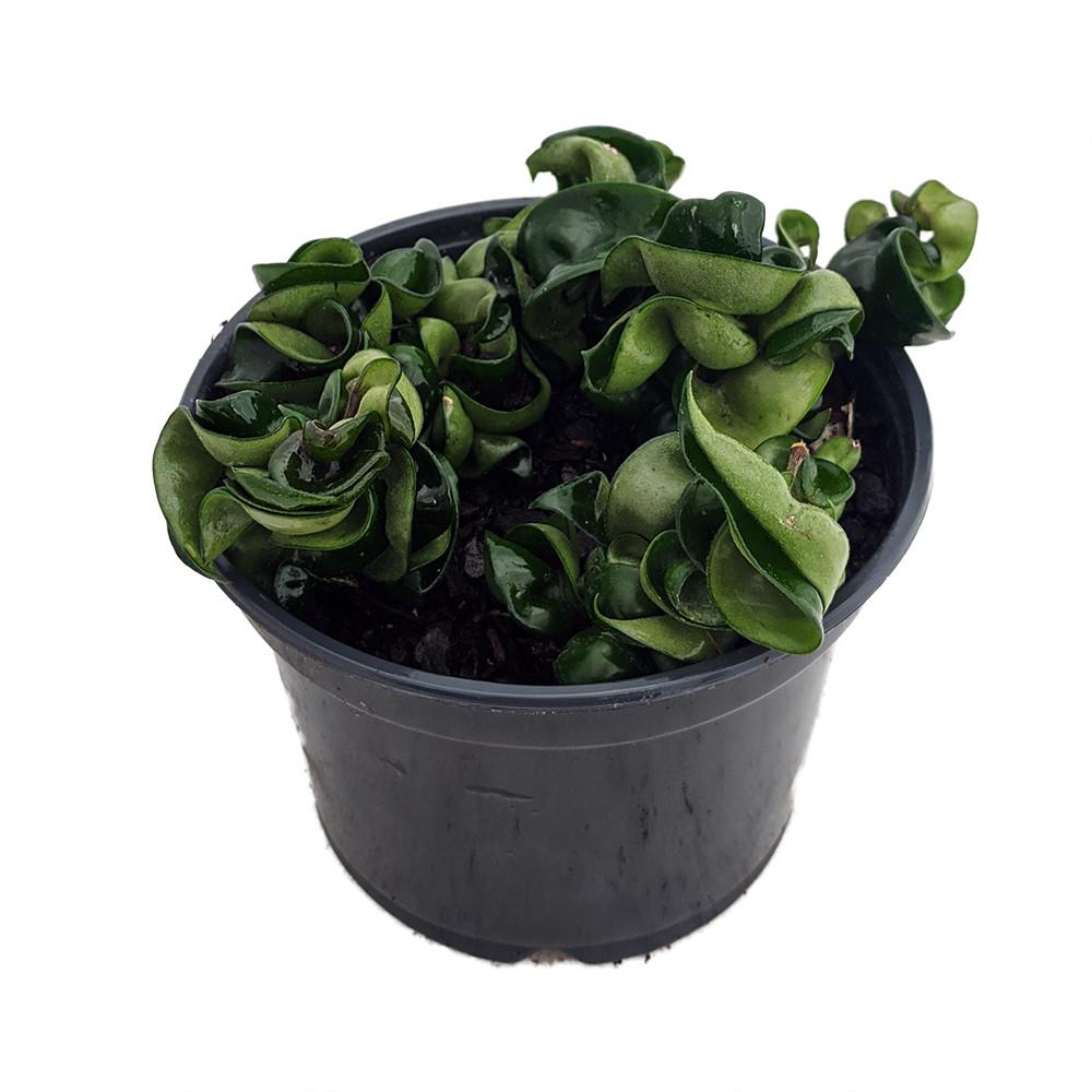 "Indian Hindu Rope Plant - Hoya carnosa compacta - 6"" Pot"