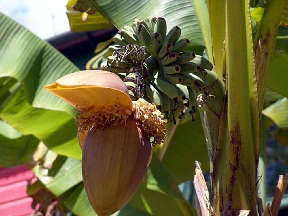 "Ohio Grown Winter Hardy Basjoo Banana Plant - Musa - 2.5"" POT"