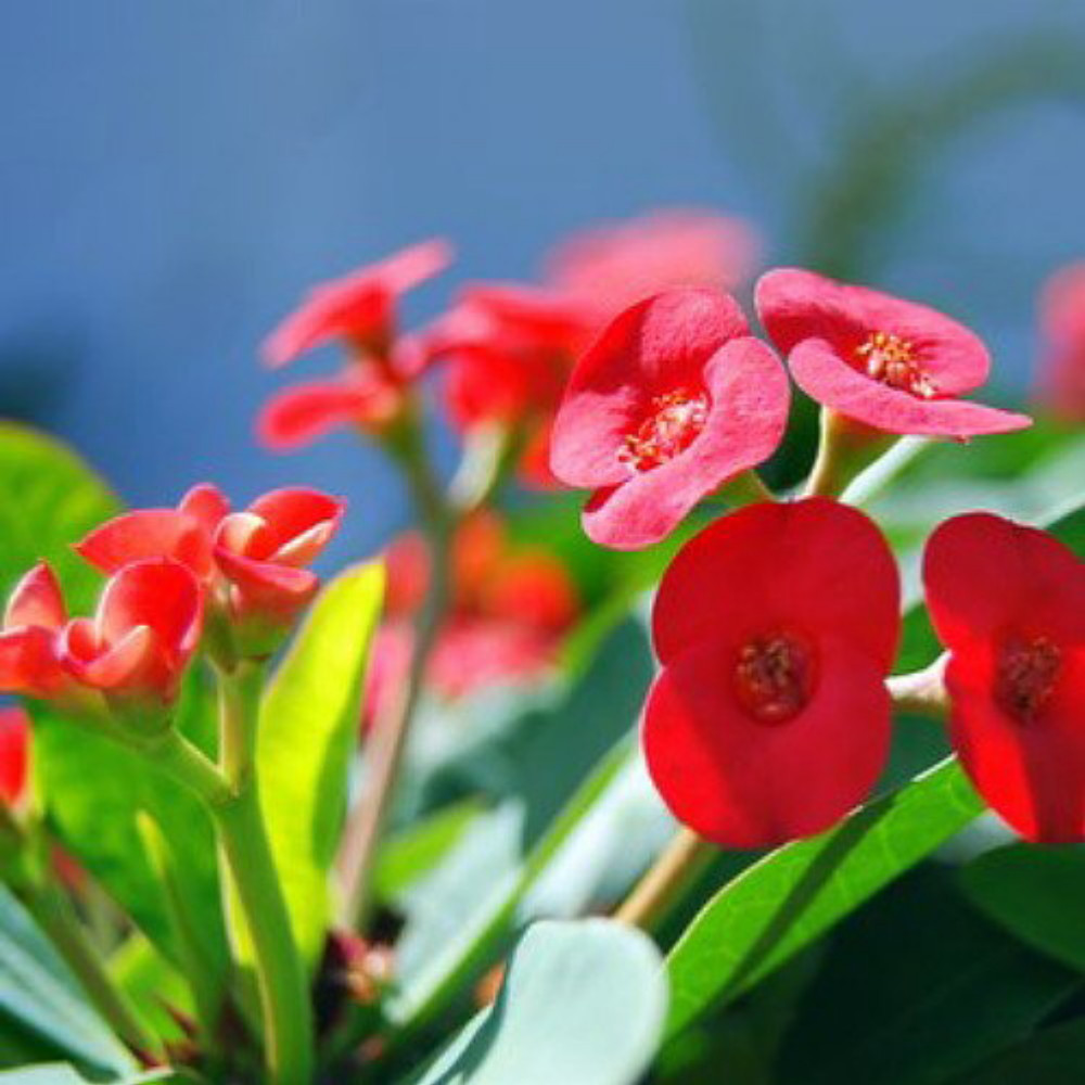 """American Beauty Crown of Thorns Plant -Euphorbia millii - 2.5"""" Pot"""