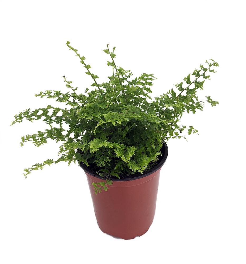 "Green Fantasy Fern - Easy to Grow House Plant - 3.5"" Pot"