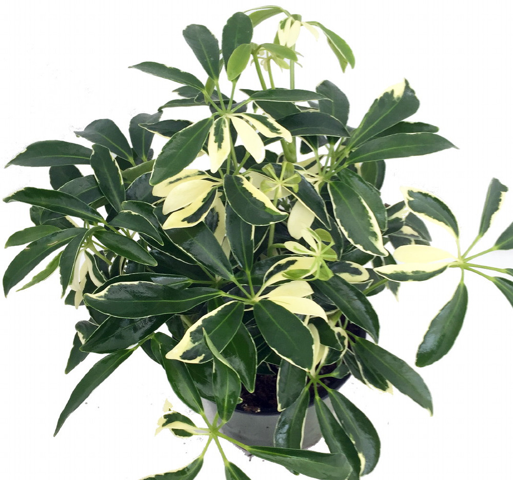 "Creme & Green Hawaiian Schefflera - 6"" Pot - Great Indoors"