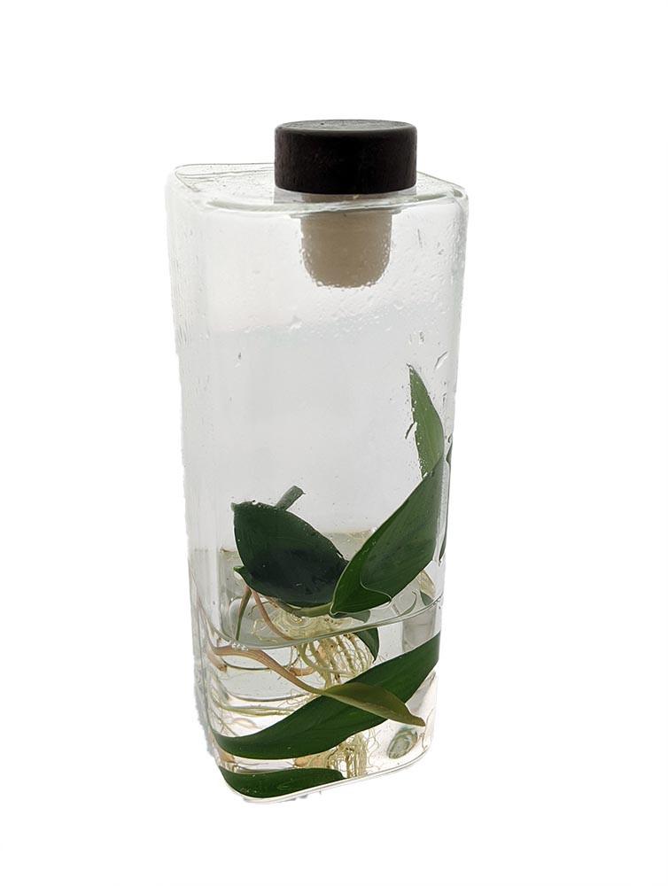 Aquatic Life Glass Terrarium with Live Plant - 6 x 2.5 x 2.5 in - Live Trends