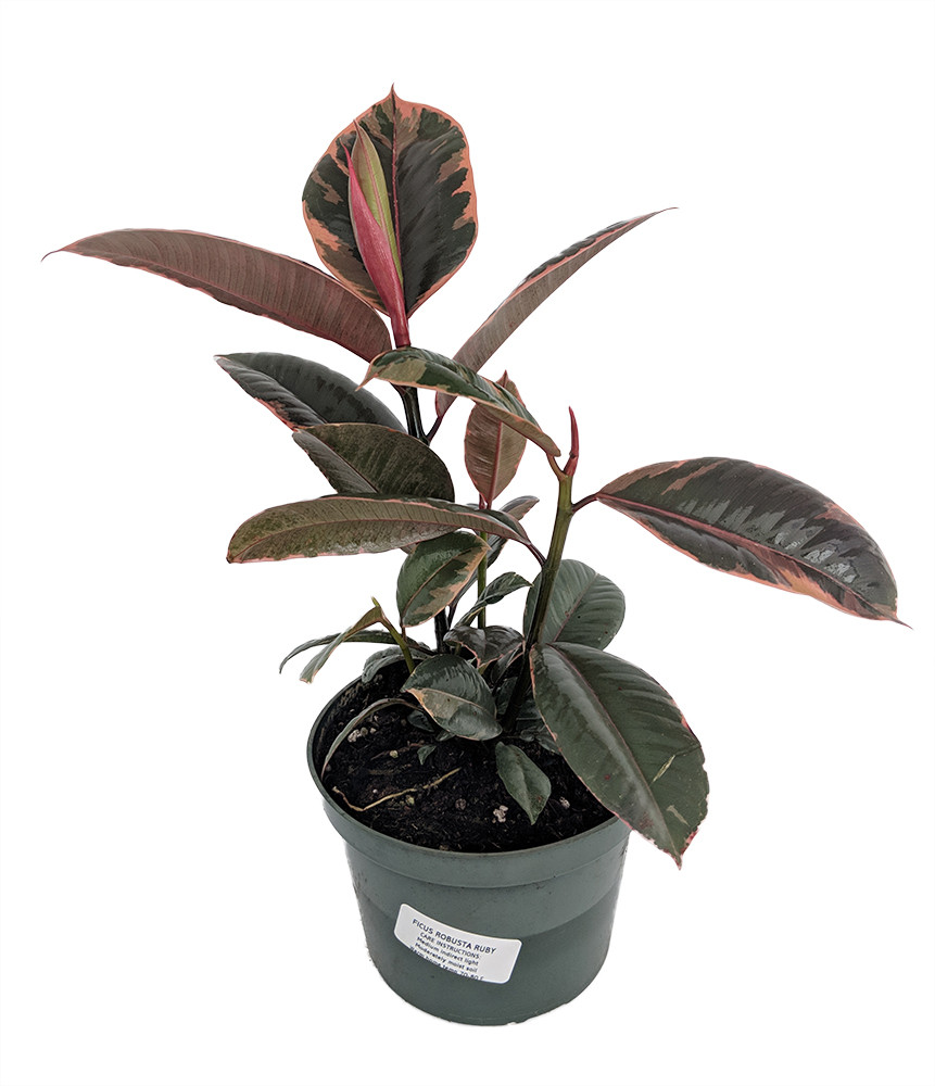 "Strawberry & Cream Ruby Rubber Tree Plant - Ficus - 6"" Pot"