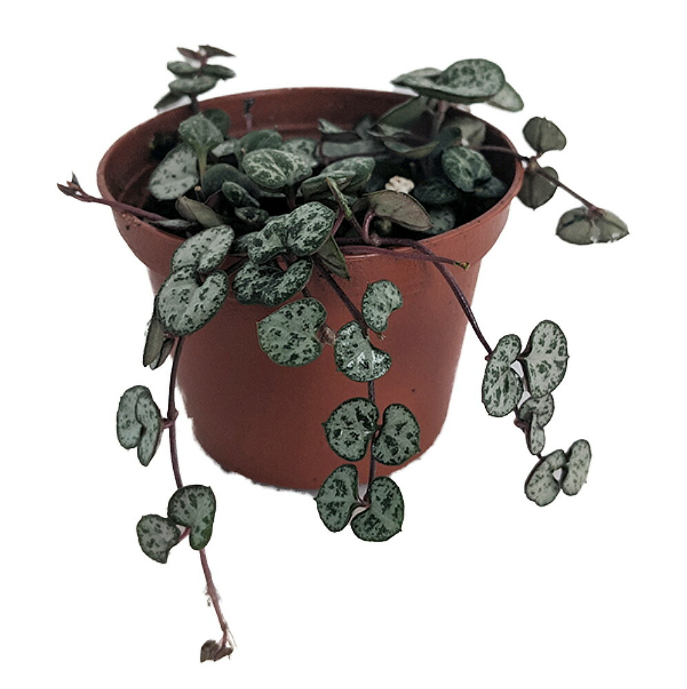 """String of Hearts - Hearts Entangled -Ceropegia woodii-2.5"""" Pot-Collector' Series"""