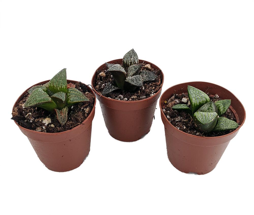 "Window Pane Haworthia Collection - 3 Plants / 2"" Pots - Easy to Grow Succulent"