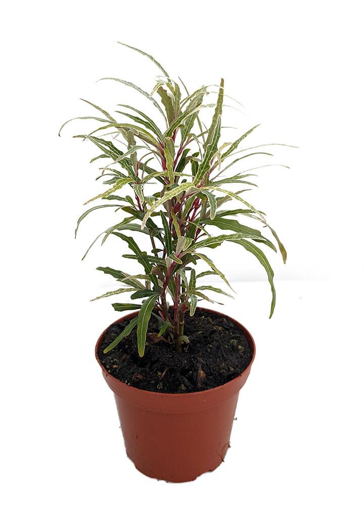 "Twilight Orchid Plant - Pseuderanthemum sinuatum -  3.7"" Pot - Easy House Plant"