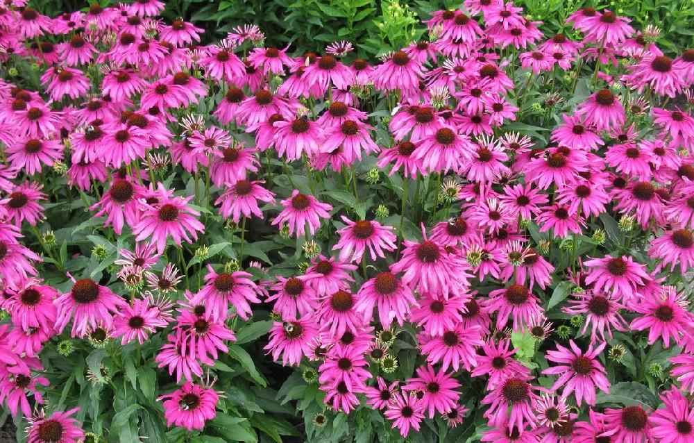 Butterfly™ Purple Emperor Coneflower - Echinacea - Gallon Pot