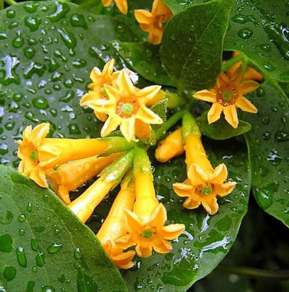 "Orange Zest Flowering Jasmine Plant - Cestrum aurantiacum - 4"" Pot"