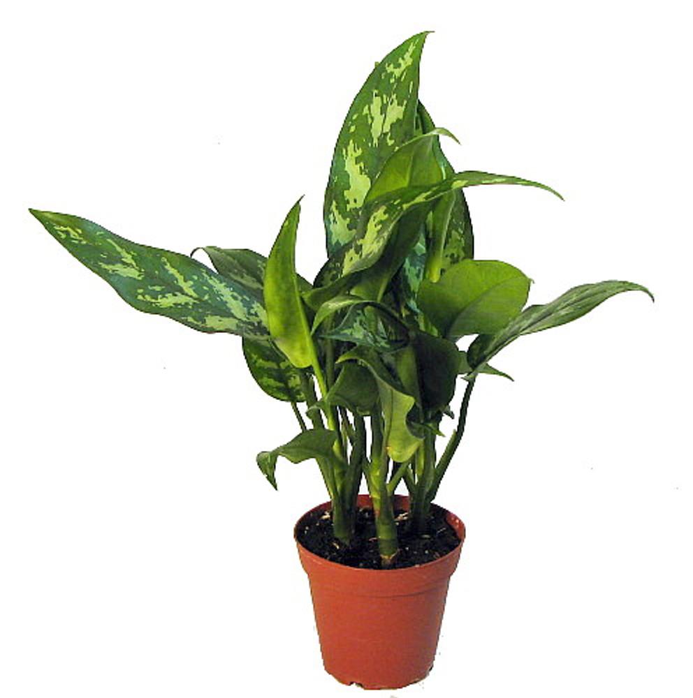 "Maria Chinese Evergreen Plant - Aglaonema - Low Light - 4"" Pot"