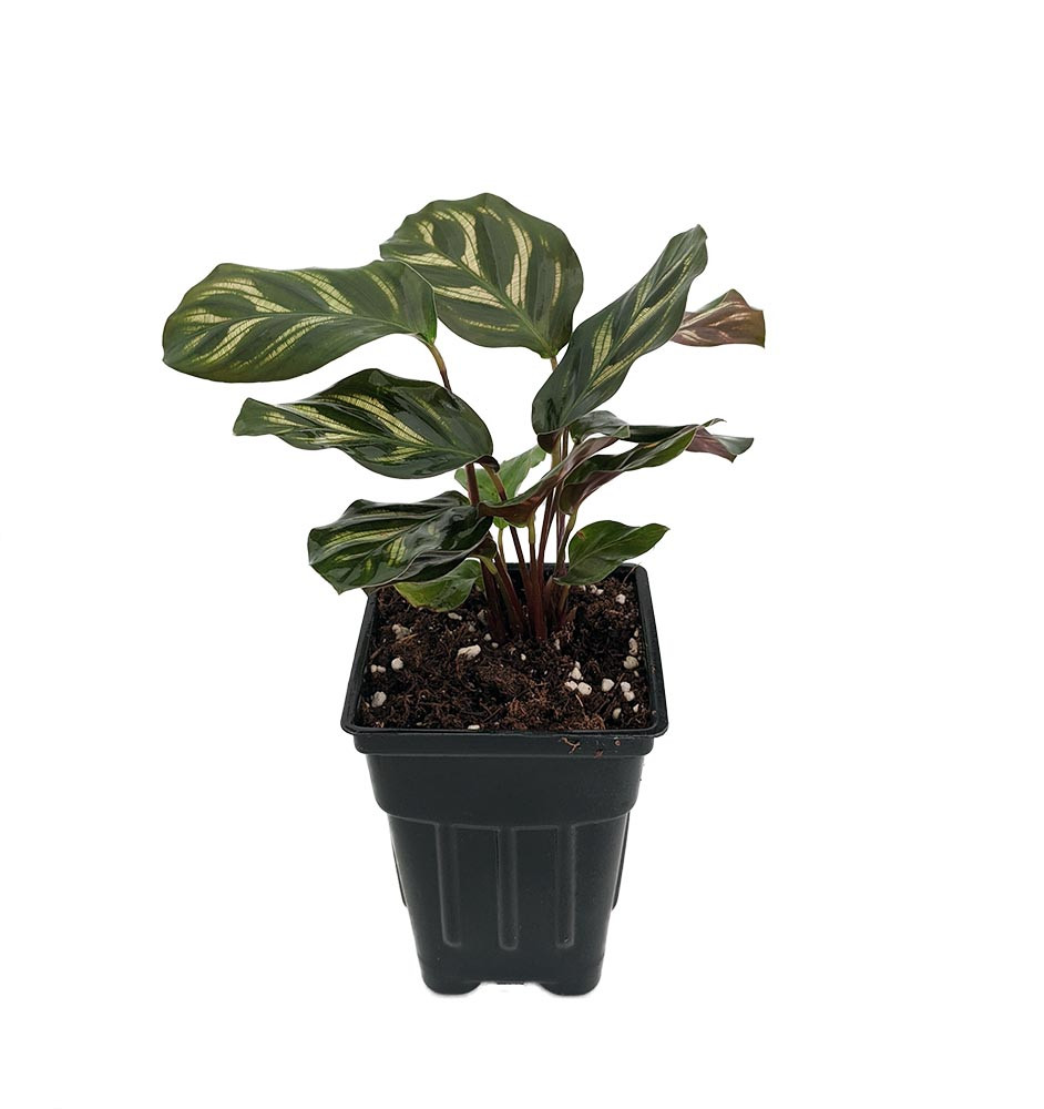 "Mini Mak Peacock Plant - Cathedral Windows - Calathea makoyana - 2.5"" Pot"