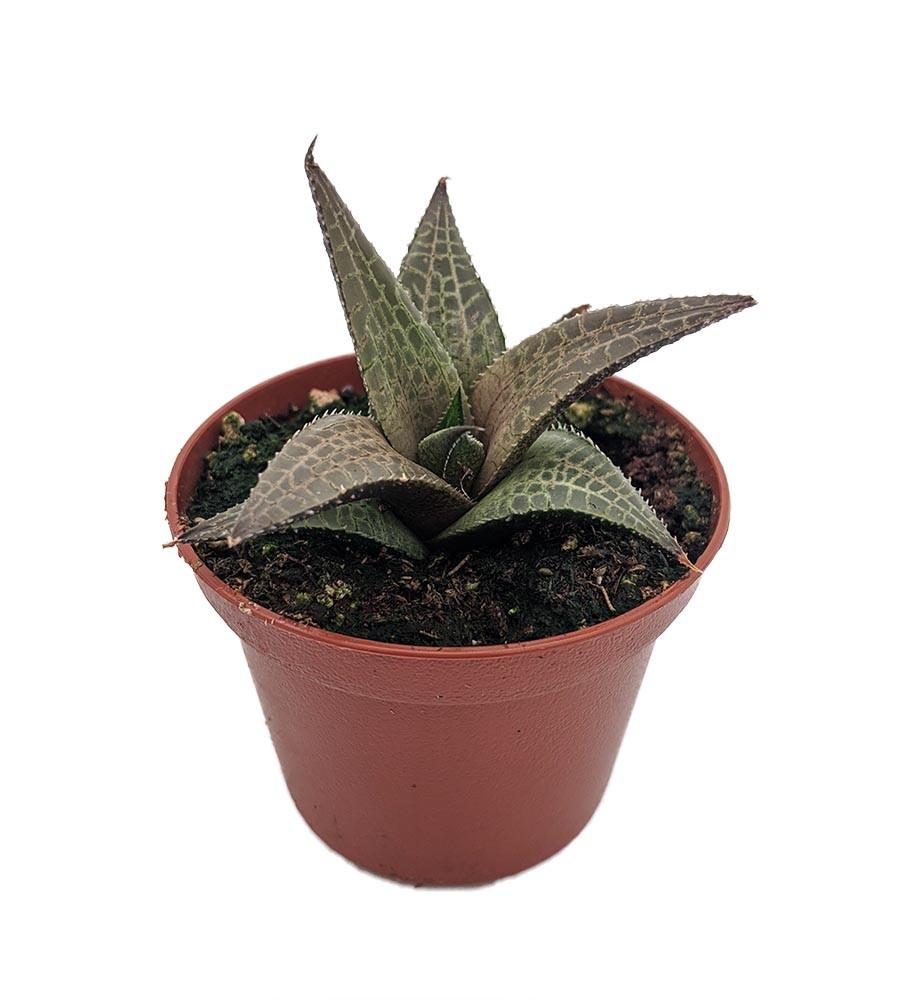 "Haworthia venosa Plant - 2.5"" Pot - Easy Care Succulent"