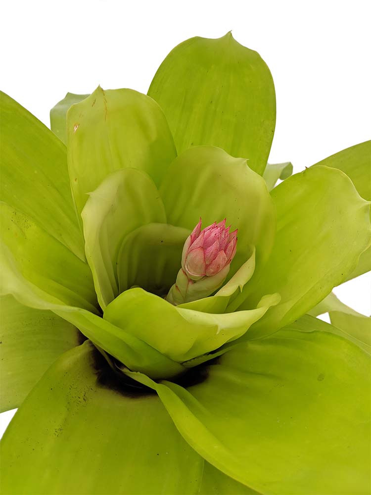 "Green Giant Spineless Vase Plant - Great Houseplant - 8"" Pot - Bromeliad aechmea"