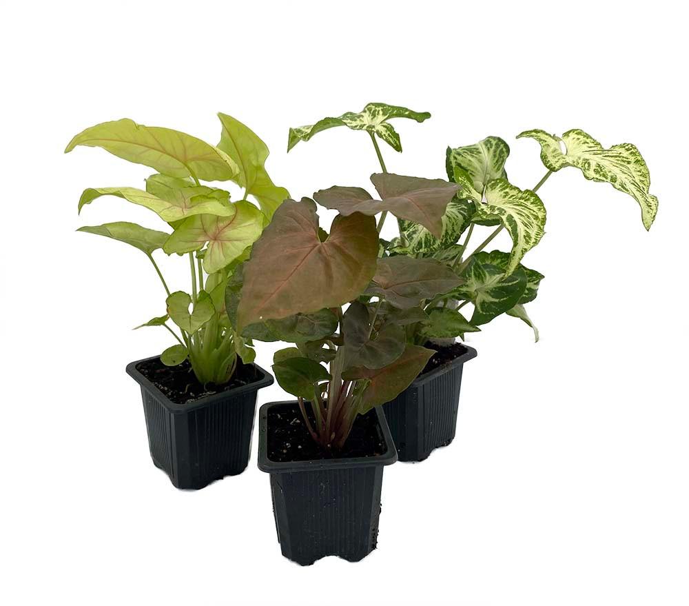 "Arrowhead Plant Assortment - Syngonium - Nepthytis - 3 Plants in 3"" Pots"