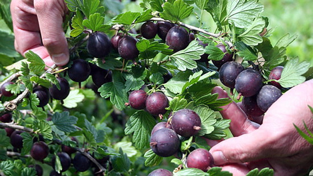 "Black Velvet Gooseberry Bush - NO SHIP to NC, WV, NH - 2.5"" Pot"