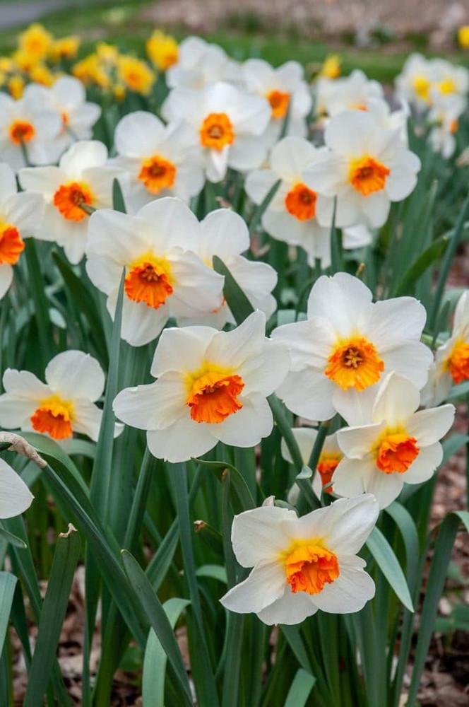 Barrett Browning Small Cupped Daffodil - 8 Bulbs - 14/16 cm