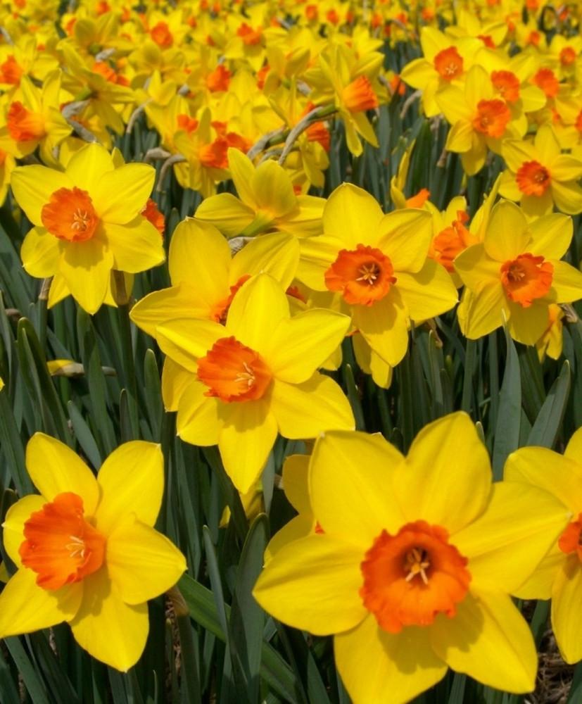 Brackenhurst Large Cupped Daffodil - 8 Bulbs - 14/16 cm Bulbs
