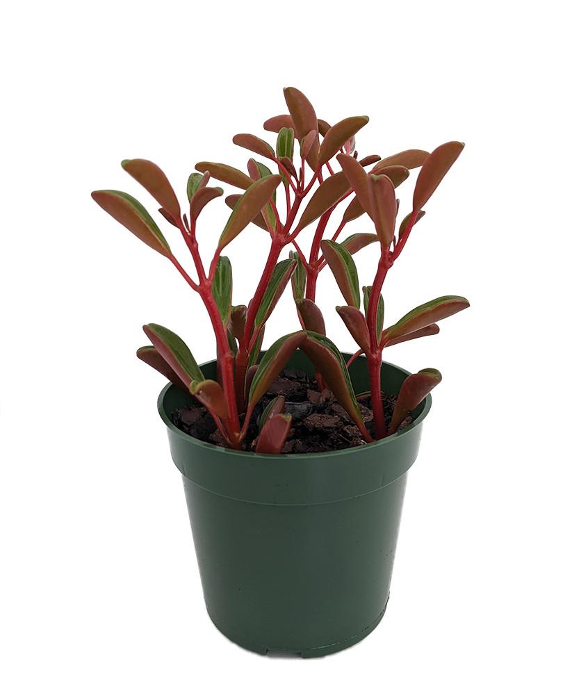 "Ruby Glow Peperomia Plant - Peperomia graveolens - 4"" Pot - Easy to Grow!"