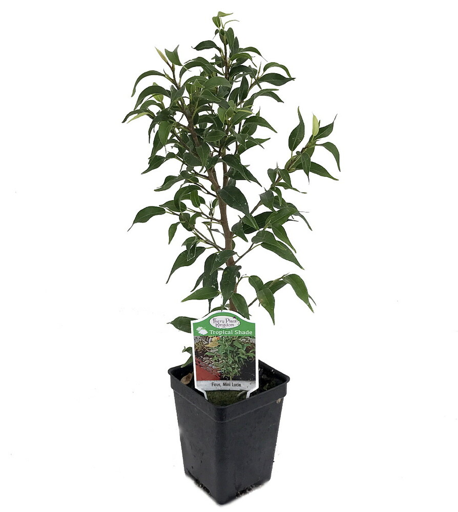"""Mini Lucie Weeping Fig Tree - 2.5"""" Pot - House Plant or Bonsai"""