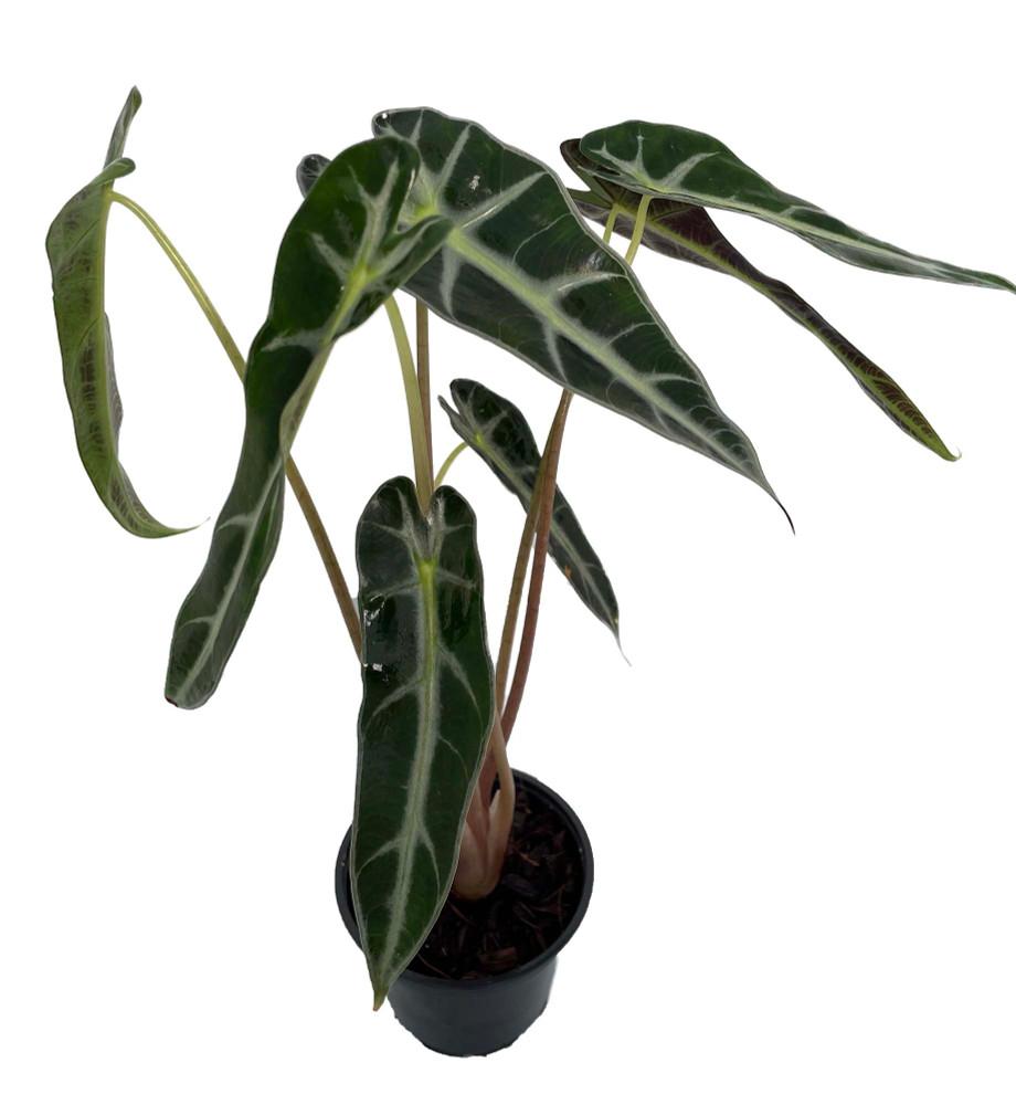 "Bambino African Mask Plant - Alocasia - Houseplant - 4"" Pot"