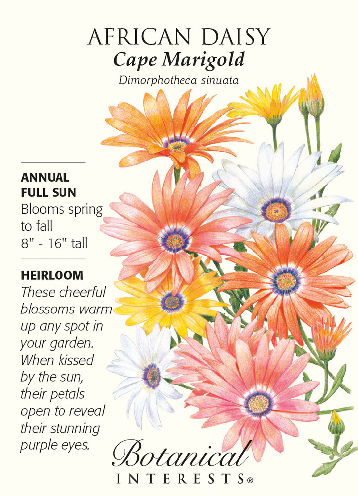 Cape Marigold African Daisy Seeds - 500 mg