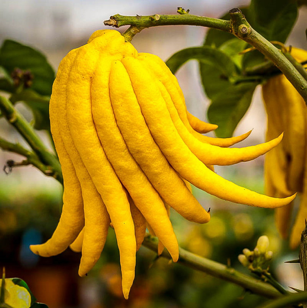 """Buddha's Hand Citrus Tree - Indoors/Out - No Ship to Tx,Fl,Az,Ca,La,Hi - 5"""" Pot"""