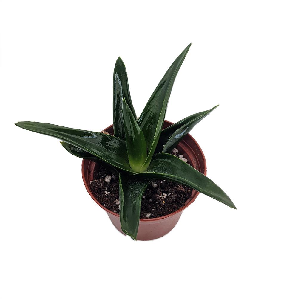 "Pentagona Haworthia - Easy to grow/Hard to kill Succulent House Plant - 3"" Pot"