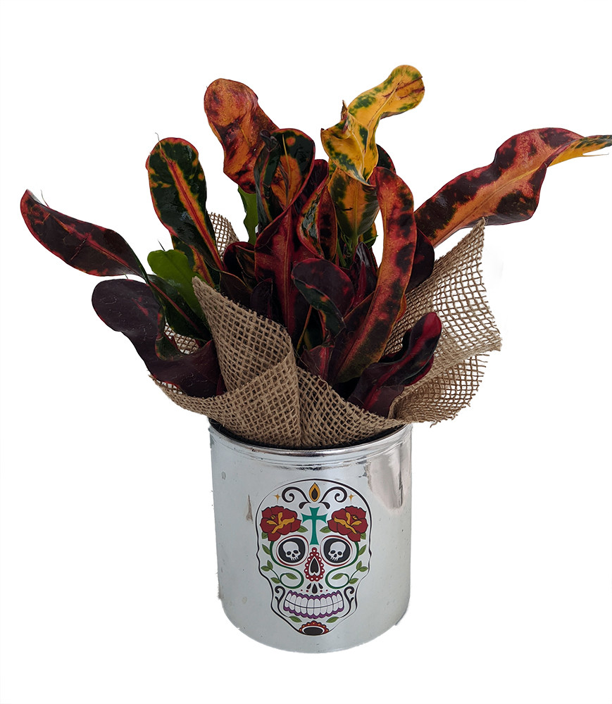 """Day of the Dead Planter + Live Croton Plant - 4.5"""" x 4.5"""" - Roses Cross"""