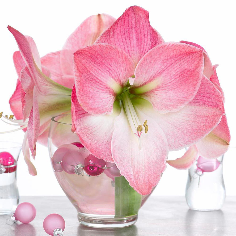Cherry Blossom Giant Amaryllis 30/32cm Bulb - Immediate Shipping/Holiday Blooms