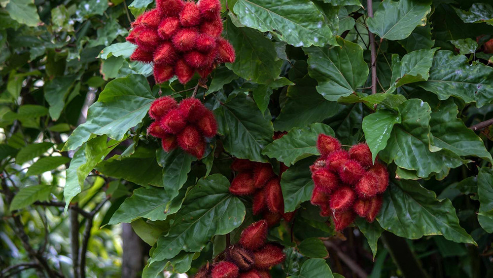 "Lipstick Tree - Bixa orellana - Annato / Achiote - 4"" Pot"
