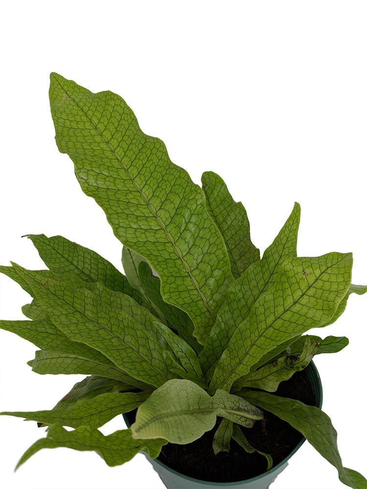 """Rare Crocodile Fern - Microsorium musifolium 'Crocydyllus'- Collector's - 6"""" Pot"""