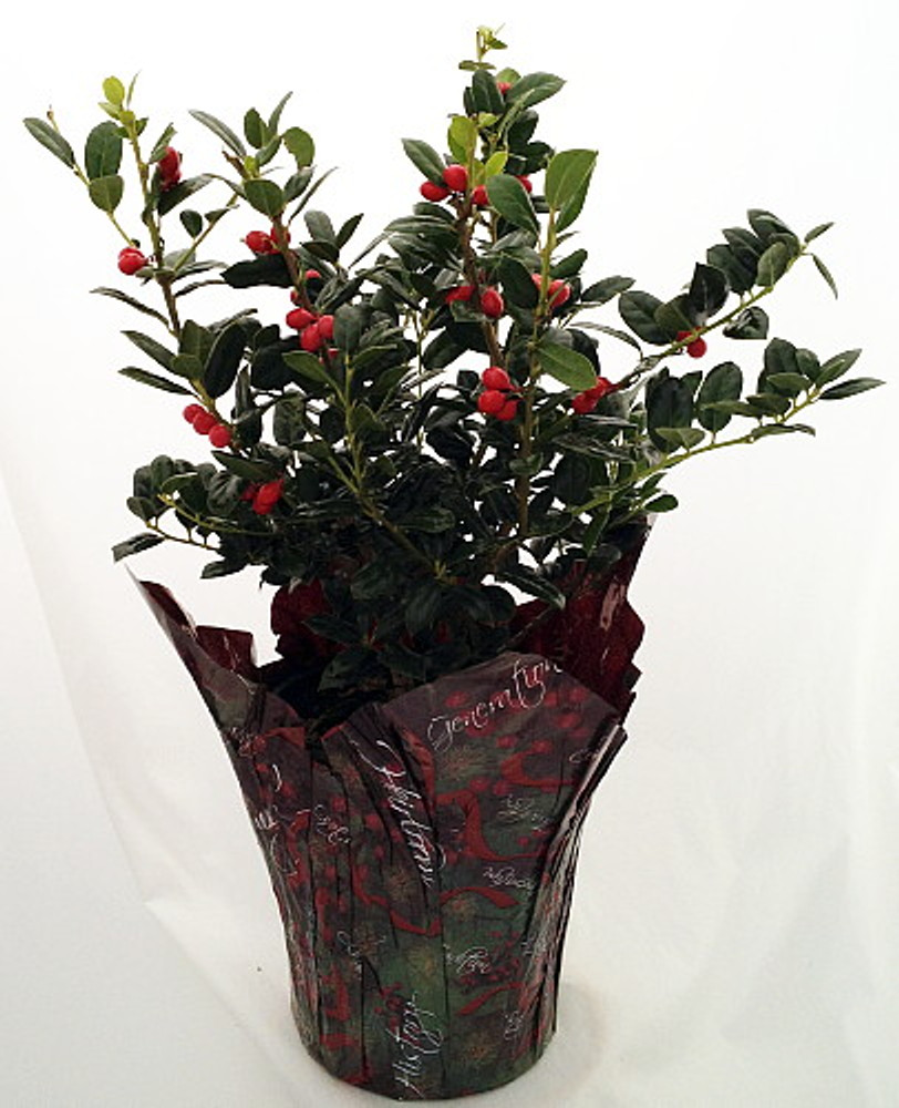"Decorated English Holly - 6"" Pot - Indoors/Out -Faux Berries/Pot Cover"