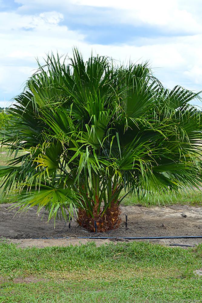 "Chinese Fan Palm - Livistona chinensis - 4"" Pot - Attractive House Plant"