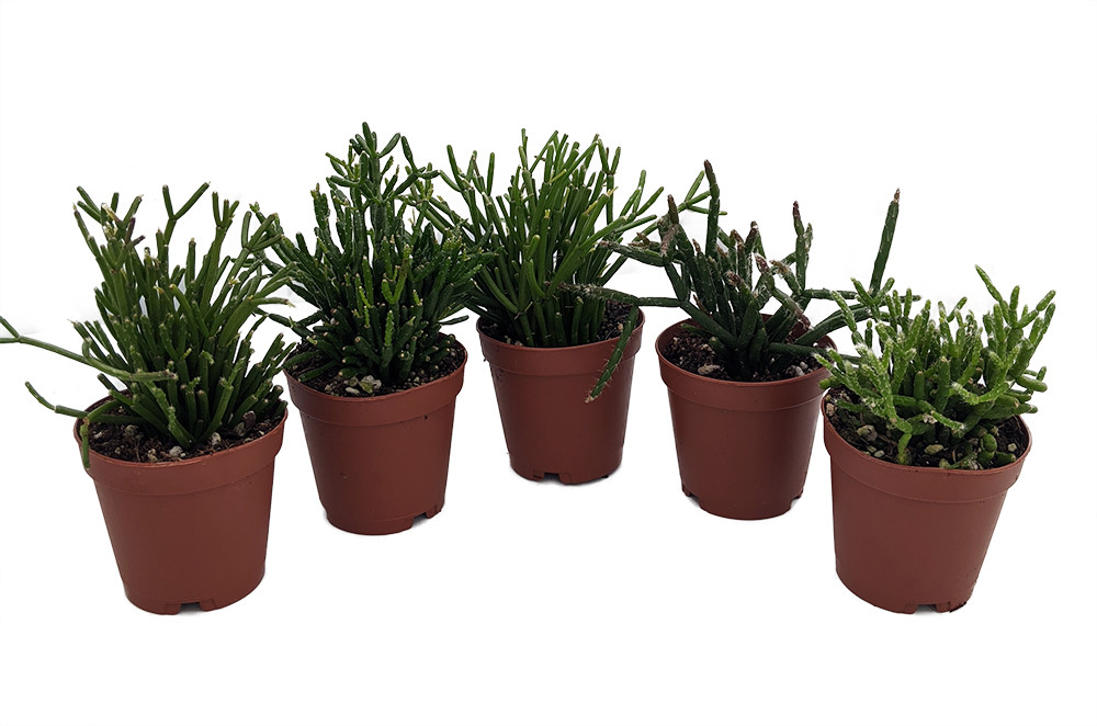 "Drunkard's Dream Cactus/Spice Cactus - Rhipsalis - 5 Pack - 2"" Pots"