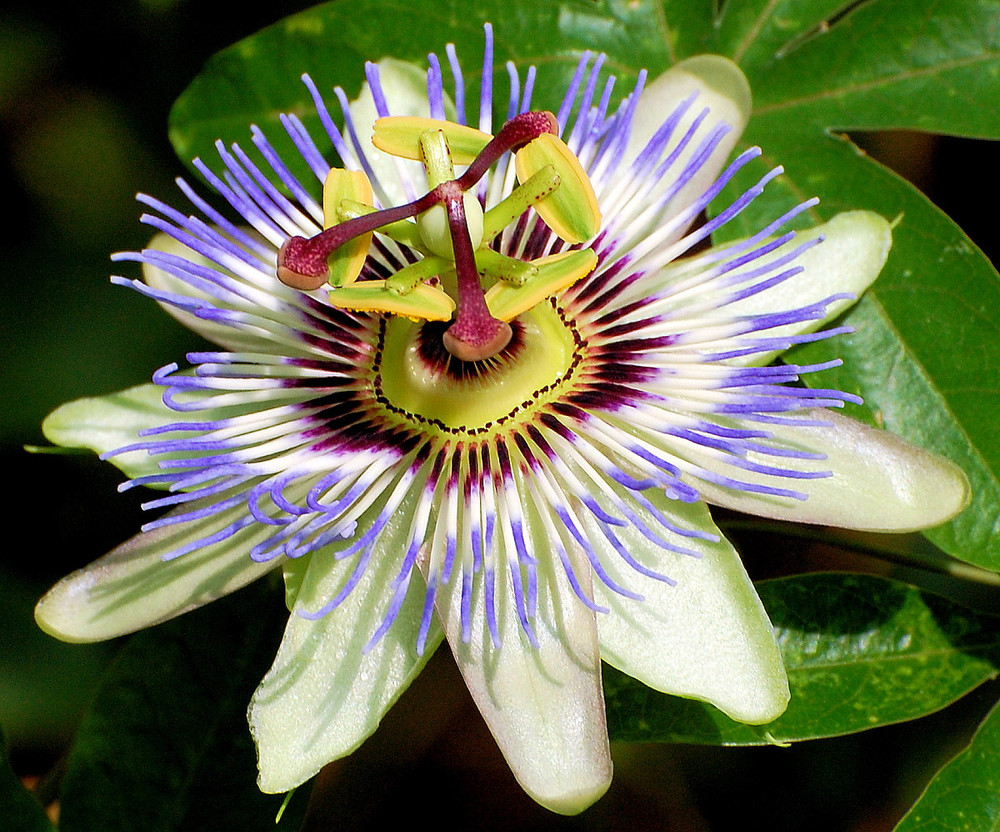 "Edible Passion Vine Plant - 4"" Pot - Passiflora caerulea - Exotic!"