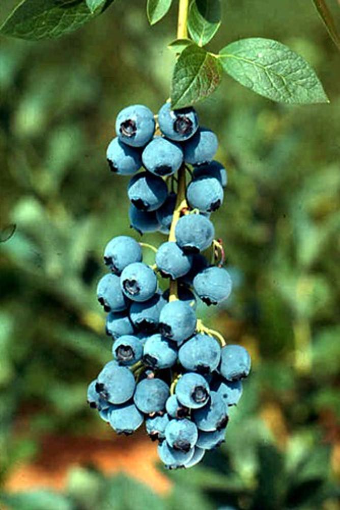"""Bluejay Blueberry Plant - Edible Landscape Plant - 2.5"""" Pot"""