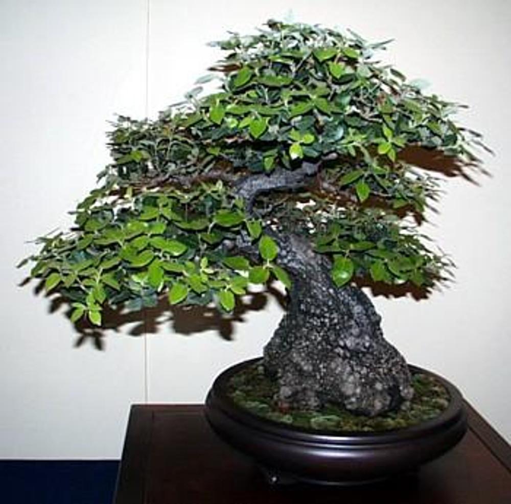 Evergreen Holly Oak 5 Seeds Quercus Ilex Great Bonsai Hirt S Gardens