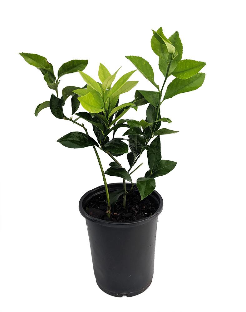 "Meyer Lemon Tree+Certificate-Fruiting Size-6"" Pot -No Ship to Tx,Fl,Az,Ca,La,Hi"