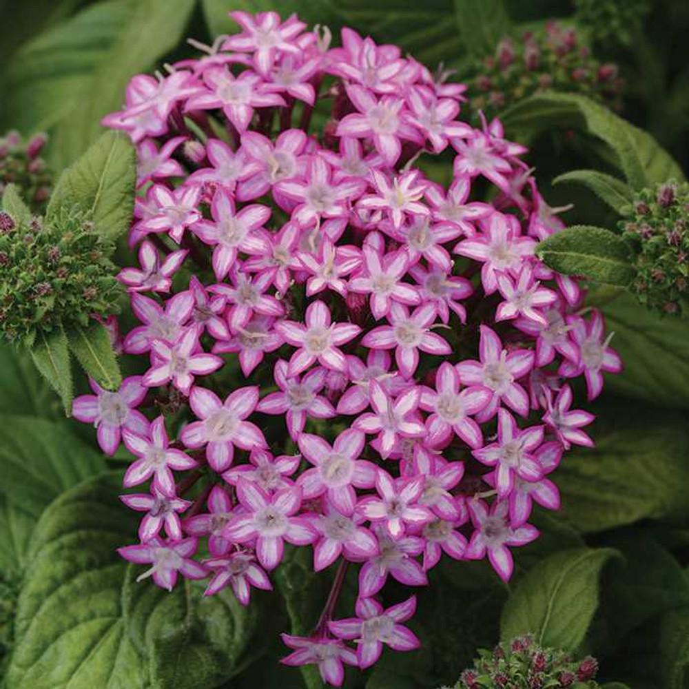 Glitterati Purple Star Pentas - 10 Seeds