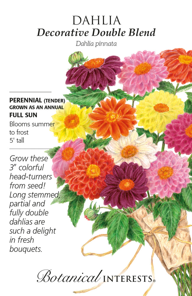 Decorative Double Blend Dahlia Seeds - 500 Mg