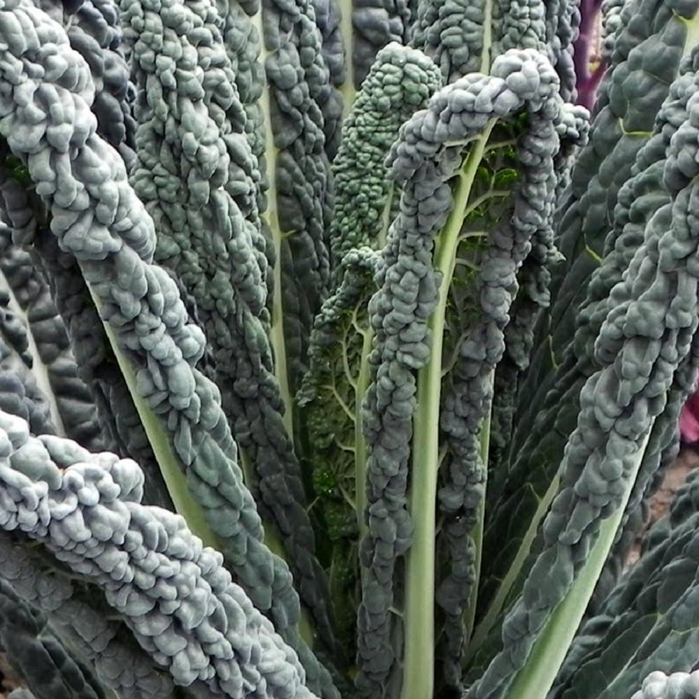 Black Magic Kale - 100 Seeds