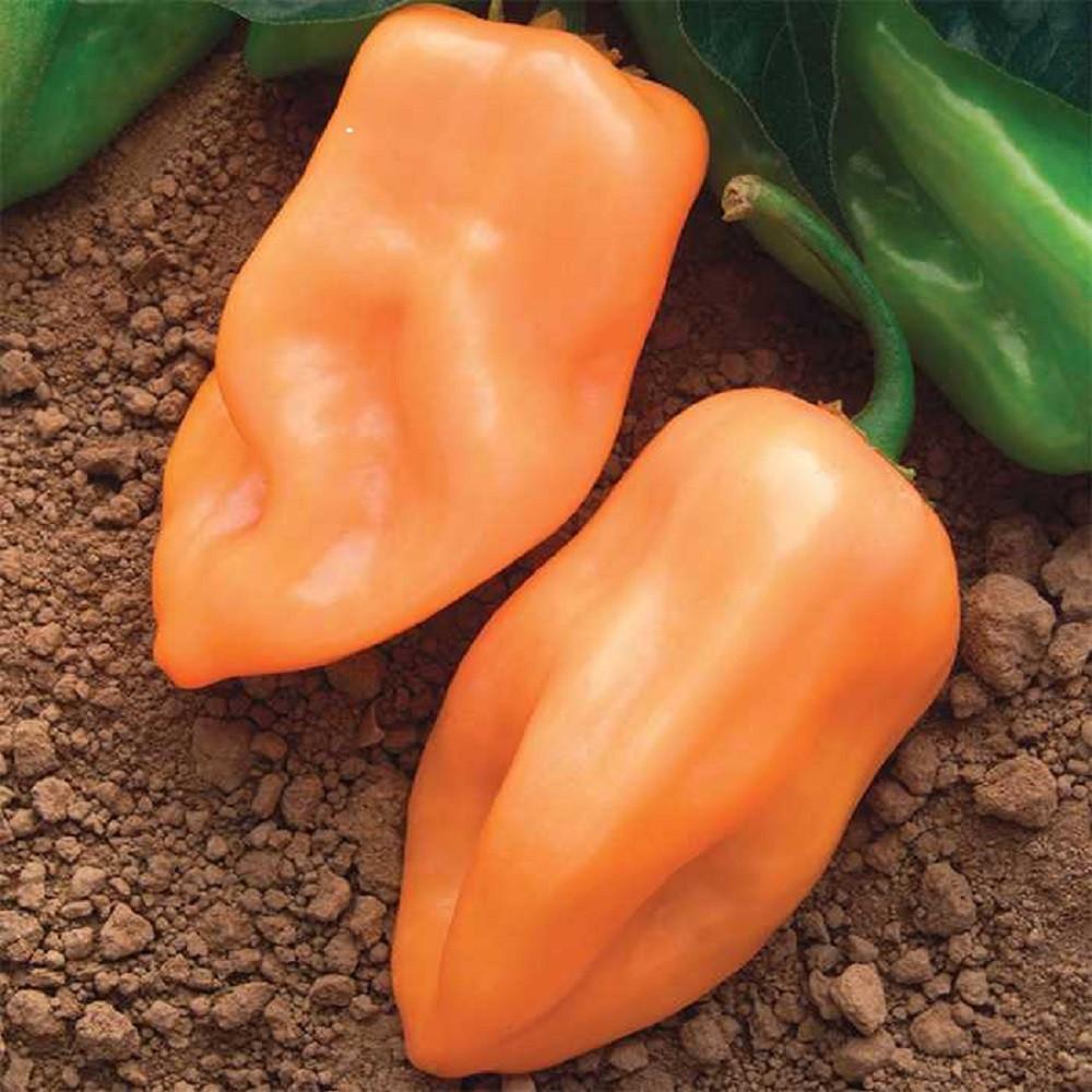 Burning Bush Pepper Seeds - 10 Seeds